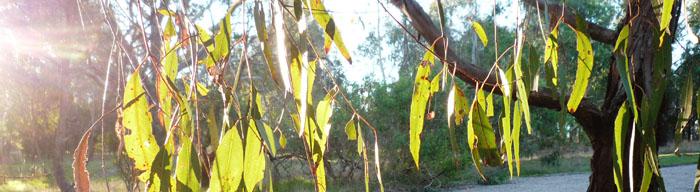 RSC_02_Gum_Leaves